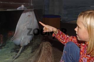Rochen-in-Aquarium