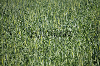 Young wheat crop in a field