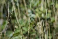 European praying mantis (Mantis religiosa) well camouflaged in the grassland