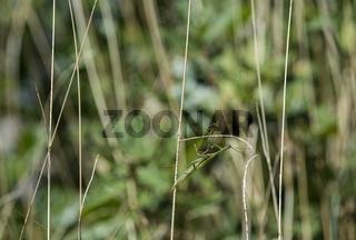 Im Grasland gut getarnte Europäische Gottesanbeterin (Mantis religiosa)