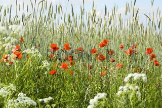 Wonderful poppies in a grain field, Lüneburg Heath, Nord Germany.