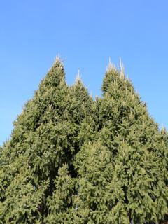Picea abies Cupressina, Säulenfichte