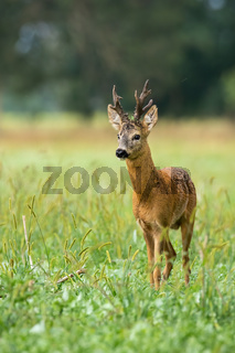 Majestic roe deer standing on meadow during the summer.