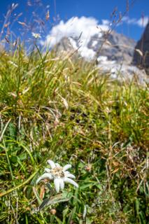 Edelweiss flowers in Vanoise national Park, France
