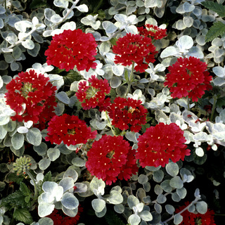 Verbene; Helichrysum
