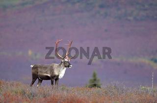 Karibubulle steht in der herbstlichen Tundra - (Alaskakaribu) / Bull Caribou standing in the tundra in indian summer - (Porcupine Caribou - Grants Caribou) / Rangifer tarandus - Rangifer tarandus (granti)