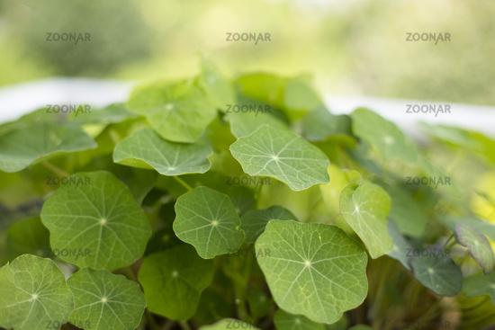 nasturtium, (Tropaeolum majus nanum)