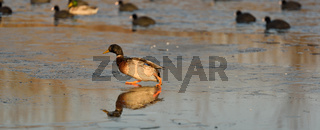 Wild duck and coots on ice on frozen lake in winter