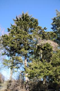 Juniperus virginiana Canaertii, Virginia-Wacholder