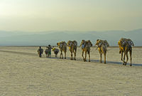 Dromedary caravan carrying at dusk salt slabs over Lake Assale,Afar region, Ethiopia