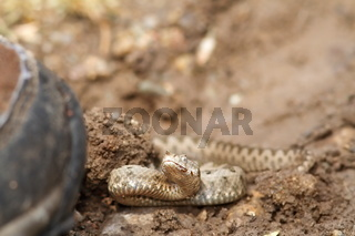 boot walking towards sand viper ( Vipera ammodytes )