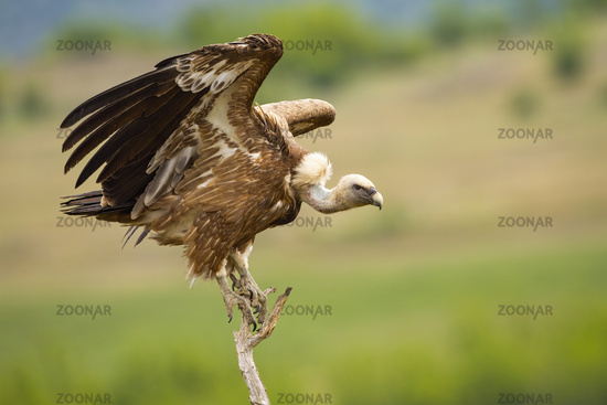 Eurasian griffon taking off from a dry tree in summer nature