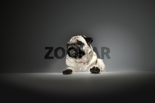 mops dog acting as the boss at business meeting