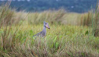 Shoebill at Mabamba swamp at Lake Victoria, Entebbe, Uganda (Balaeniceps rex)