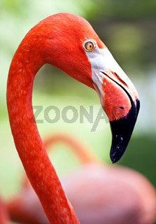 Profile of American flamingo with its long neck and beak