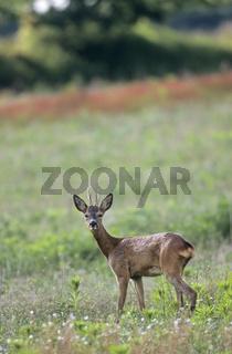 Rehbock steht sichernd auf einer Wiese / Roe Deer buck stands saving in a meadow / Capreolus capreolus