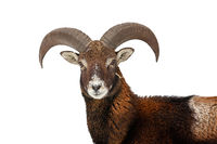 Mouflon looking to the camera isolated on white background.