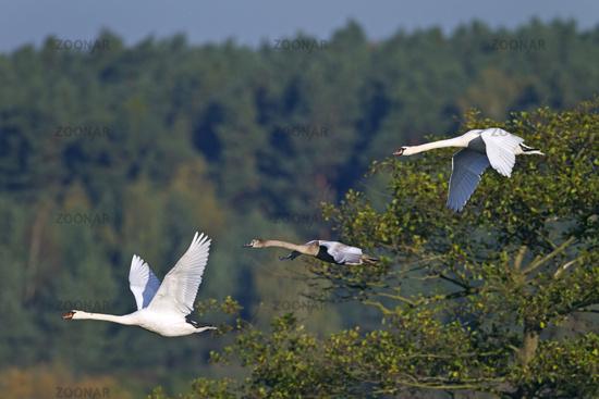 Mute Swan family in flight