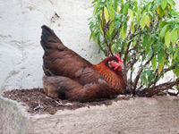 brown hen resting in the backyard