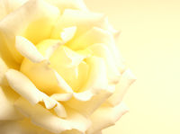 Beautiful yellow rose on a yellow background