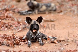 African wild dog in the wilderness