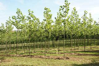 Platanus acerifolia, Platane, Plane tree, Baumschule