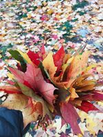 Dry multicolored leaves in human hand. Autumn concept. Yellow and red leaves in human hand