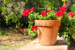 Red flower in pot outdoors