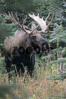 Elchschaufler in der Taiga - (Alaskaelch) / Bull Moose in the taiga - (Alaska Moose) / Alces alces - Alces alces (gigas)