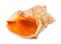 empty conch of rapana isolated on white