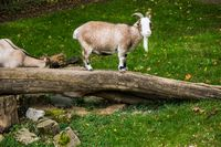 farm animal goat balancing on tree