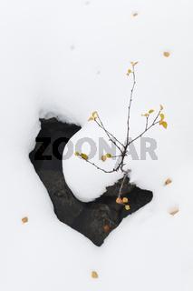 Birke im Schnee im Tal Doeralen, Rondane Nationalpark, Hedmark
