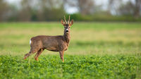 Roe deer looking to the camera on grass in spring nature