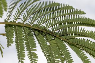 Albizia lophanta, Schirmakazie