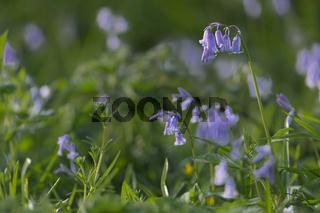 native english bluebell