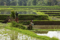Asian woman working on rice cultivation in a field flooded with water in the plains surrounding Bali