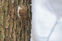 Eurasian tree-creeper (Certhia familiaris)