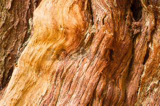 Large Living Cedar Tree Wood Grain Exposed