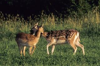 Damwild - (Damtier  Damkalb im Sommerfell) / Fallow Deer hind  calf in summer pelage / Dama dama - (Cervus dama)