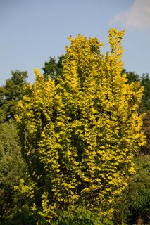 Ulmus carpinifolia Wredei, Goldulme