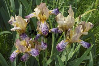 Variegated Sweet Iris flowers.