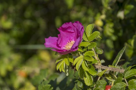 Flower of the potato rose (Rosa rugosa)
