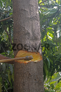 cutting tree with axe