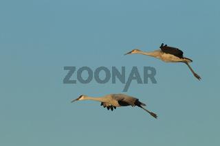 Kanadakraniche Bosque del Apache Wildlife Reserve