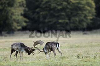 Brunftkampf zwischen Damhirschen - (Damschaufler kaempfend) / Fallow Deer stags fighting / Dama dama (dama) - (Cervus dama)