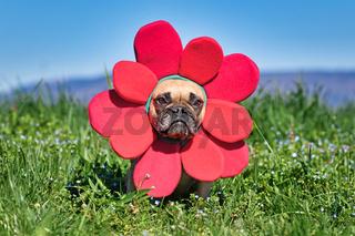 Lustiger als große rote Blume verkleideter Französische Bulldogge Hund