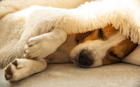 Beagle dog tired sleeps on a cozy sofa, couch, under fluffy blanket