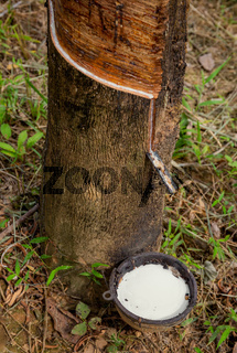 Natural latex dripping from rubber tree