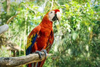 Red macaw or scarlet macaw Ara macao on a stick with green sunny jungle background
