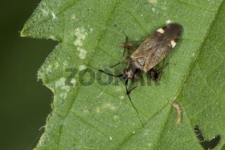 Weichwanze_Closterotomus-fulvomaculatus
